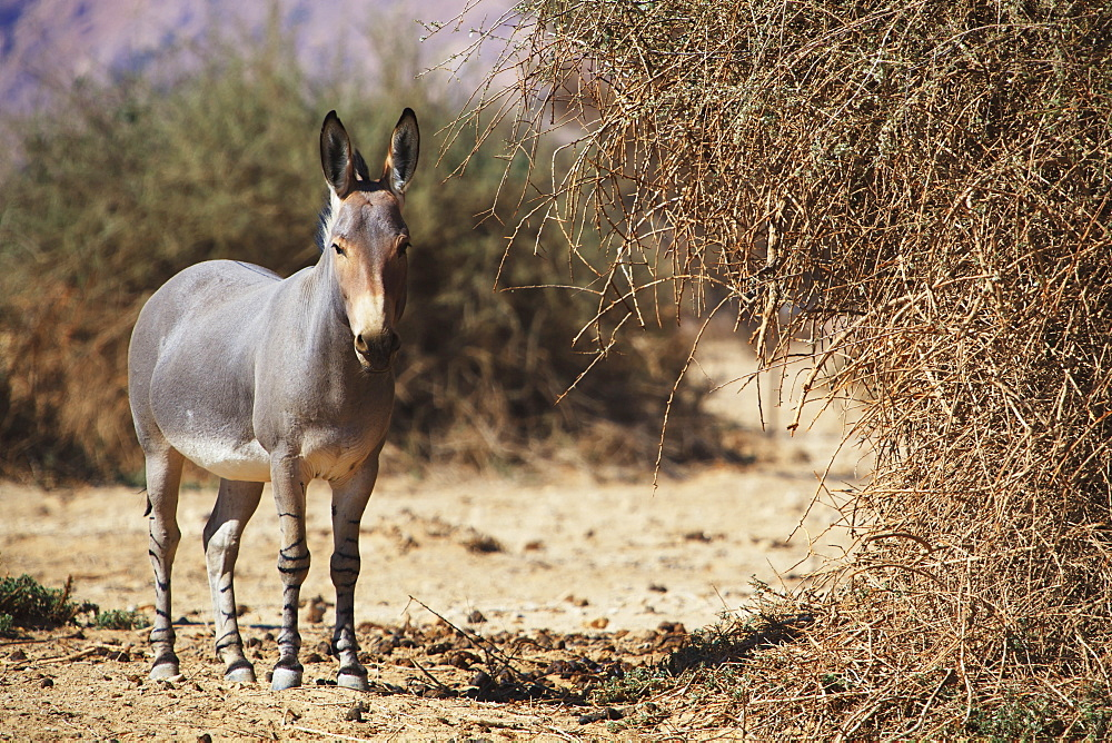 Donkey In The Arava Valley, Jordan Valley, Israel