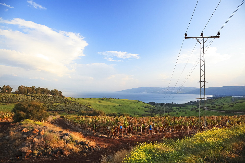 A Power Line Going Over A Crop With Lake Kinneret In The Distance, Galilee, Israel