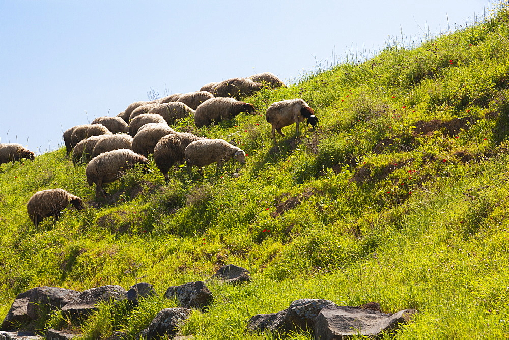 Sheep Grazing On The Hillside By The Sea Of Galilee, Israel
