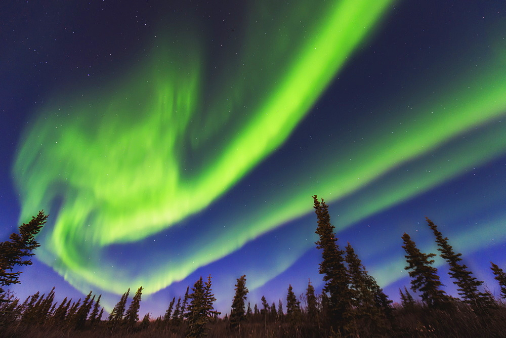 Aurora Borealis Over Spruce Trees In The Northwest Arctic Of Alaska.