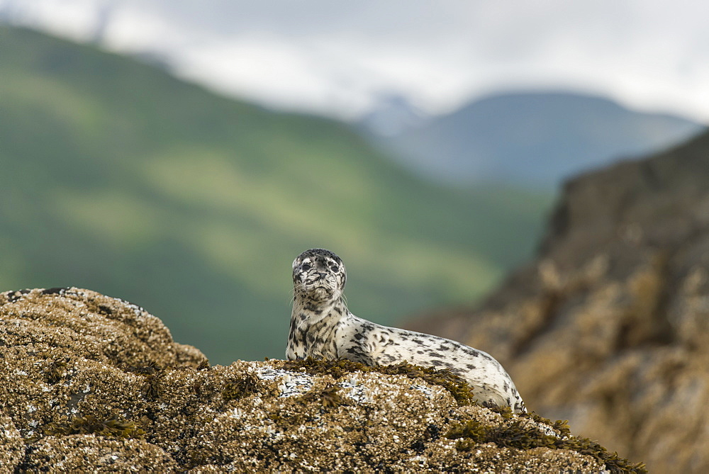 Harbor Seal Pup On Rock In Kukak Bay, Katmai National Park And Preserve, Alaska