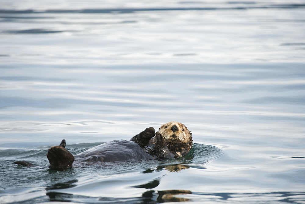 A Sea Otter Swims Away On Its Back In Kukak Bay, Katmai National Park & Preserve, Alaska.