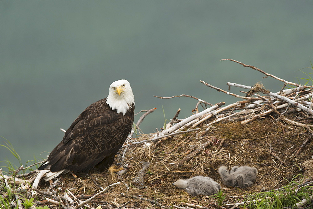 Bald Eagle With A Pair Of Chicks In Nest, Kukak Bay, Katmai National Park & Preserve.