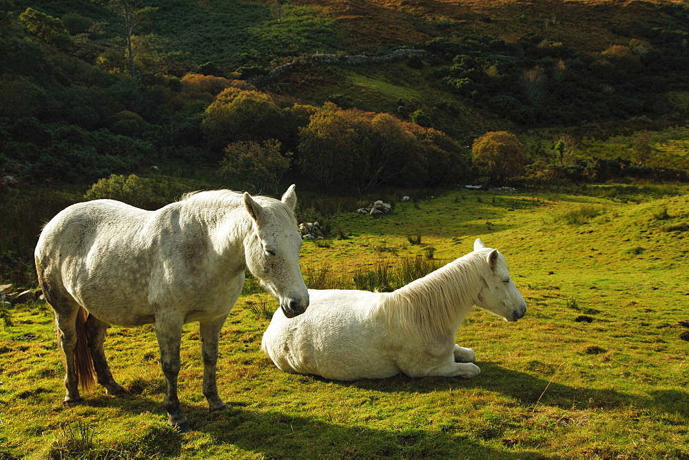 White Horses In Connemara National Park, County Galway, Ireland
