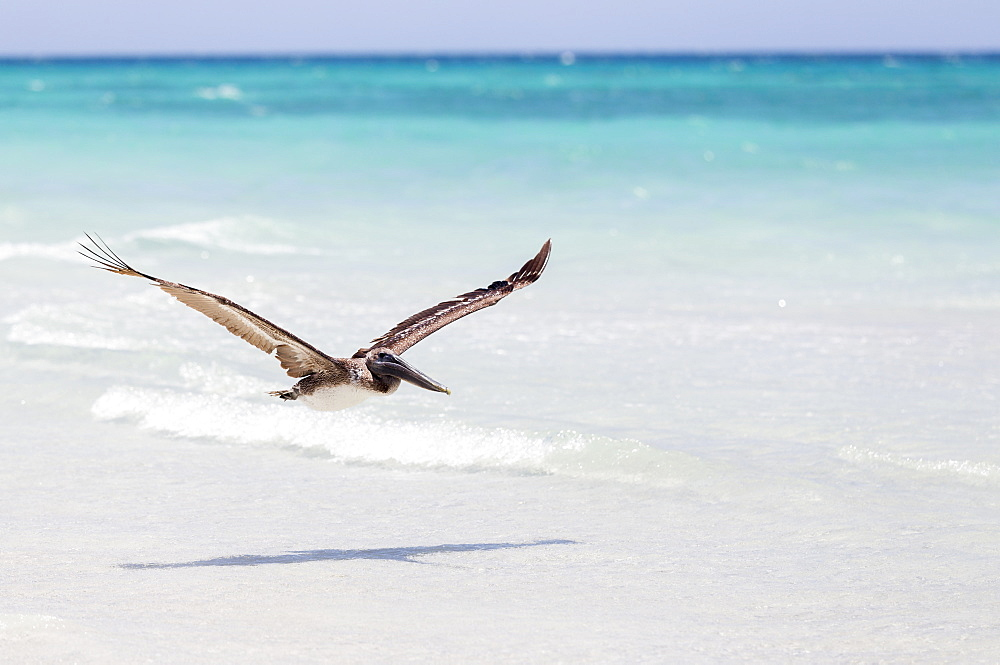 A Brown Pelican (Pelecanus Occidentalis) Flying Low Above The White Sand Beach With The Blue Water, Caribbean In The Summer, Varadero, Cuba