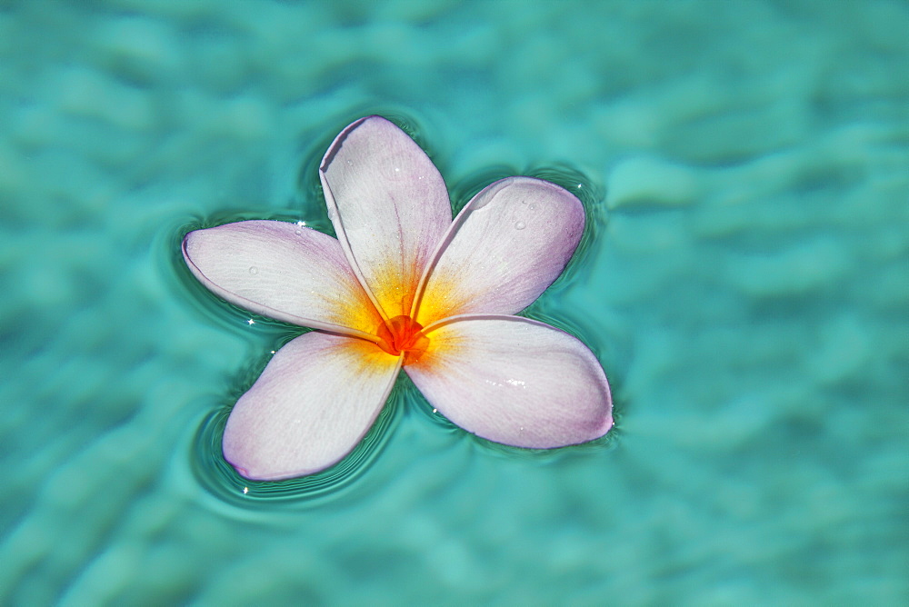 A Single Plumeria Flower Floats In Clear Blue Water, Maui, Hawaii, United States Of America