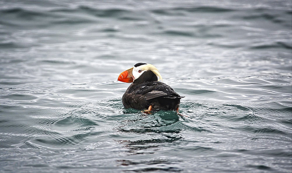 A Tufted Puffin Swims In The Waters At A Seabird Rookery Near Gull Island, Kachemak Bay, Southcentral Alaska