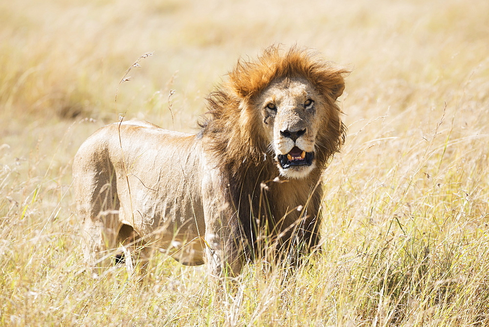 A Male Lion (Panthera Leo) Standing In The Grass On The African Savannah With His Mouth Slightly Open As He Starts To Yawn, Narok, Kenya