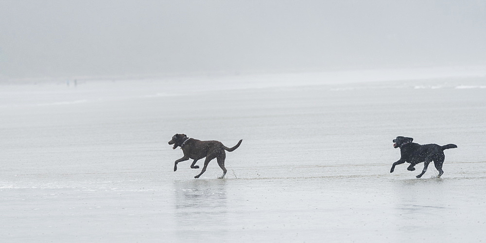 Two Black Dogs Running On A Wet Beach In The Fog