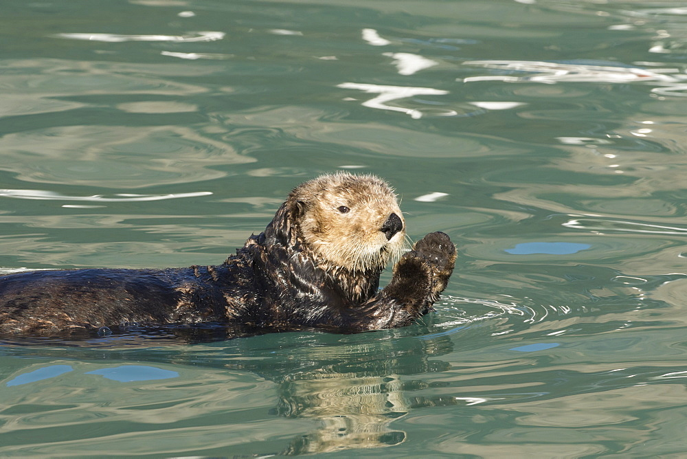 Sea Otter (Enhydra Lutris), Seward Small Boat Harbor, South-Central Alaska, Seward, Alaska, United States Of America