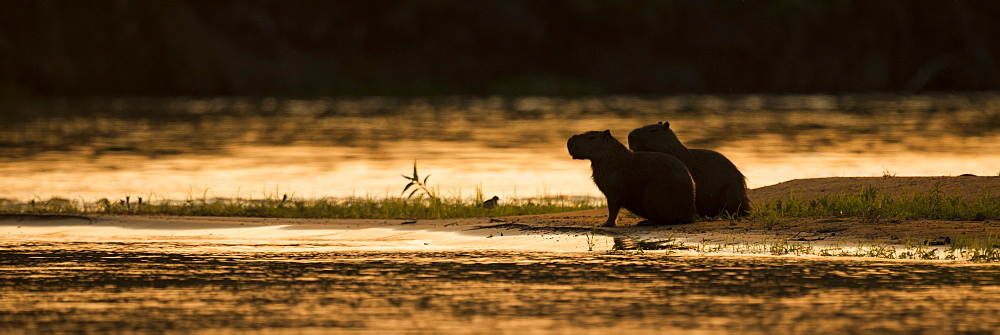 Two Capybara (Hydrochoerus Hydrochaeris) Sitting By River At Sunset, Mato Grosso Do Sul, Brazilnone