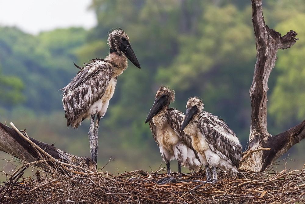 Three Juvenile Jabiru Storks (Jabiru Mycteria) Standing In Nest, Mato Grosso Do Sul, Brazil