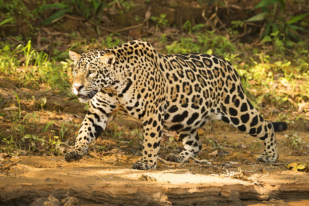Jaguar (Panthera Onca) Prowling Beside River In Dappled Sunlight, Mato Grosso Do Sul, Brazil