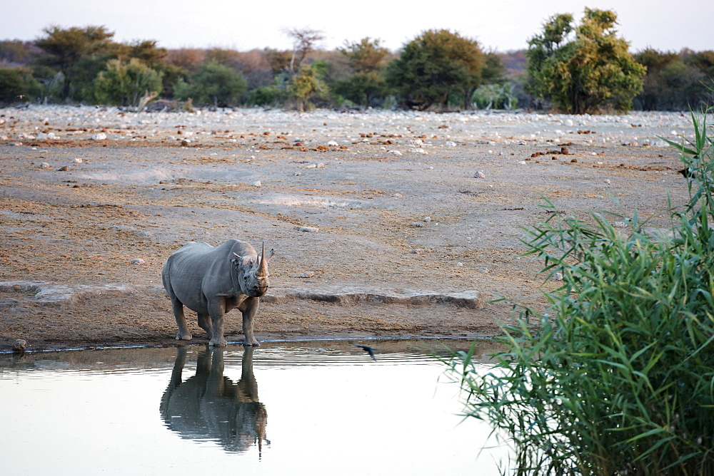 A Rhinoceros Is Looking At The Camera And Drinking At Watering Hole Of Etosha National Park, Namibia