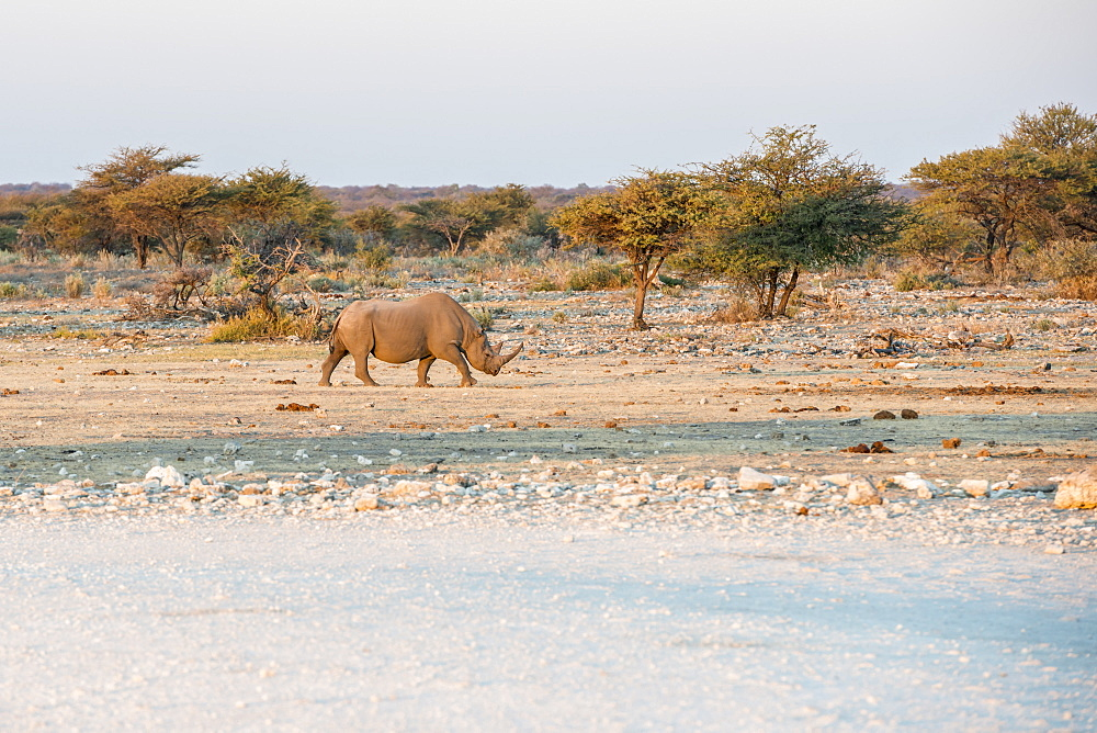 A Rhinoceros Is Crossing Savanna Woodlands Of Etosha National Park During Sunset, Namibia