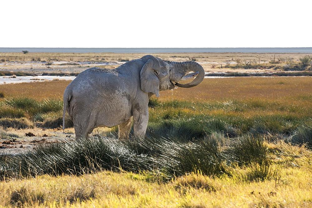 An Old Namibian Elephant (Loxodonta Africana) Is Taking A Bath And Drinking Water In Etosha National Park, Namibia