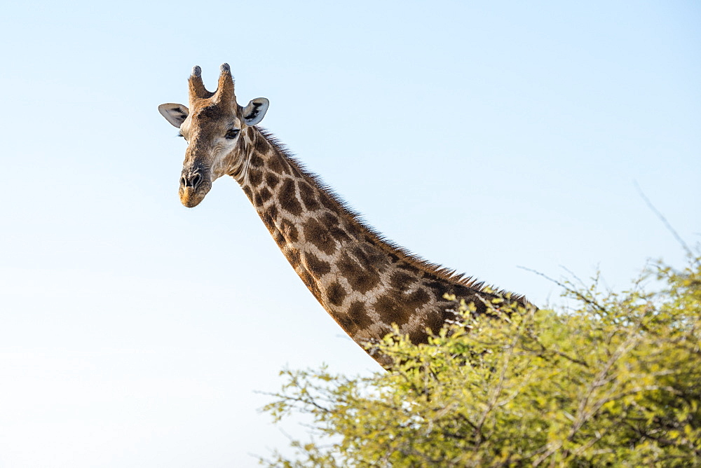 Close Up View Of Namibian Giraffe (Giraffa Giraffa Angolensis) Head Rising Above Green Tree Top At Savanna Woodlands Of Etosha National Park, Namibia