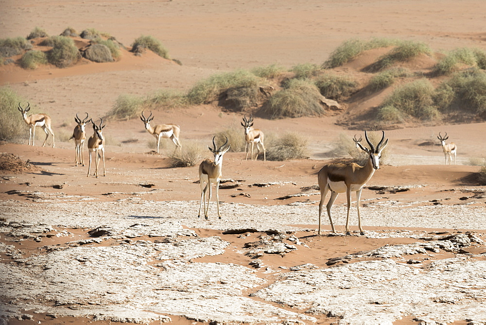 A Group Of Springbok (Antidorcas Marsupialis) Antelopes In The Sand Of Namib Desert, Namibia