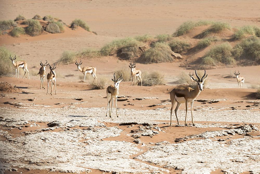 A Group Of Springbok (Antidorcas Marsupialis) Antelopes In The Sand Of Namib Desert, Namibia