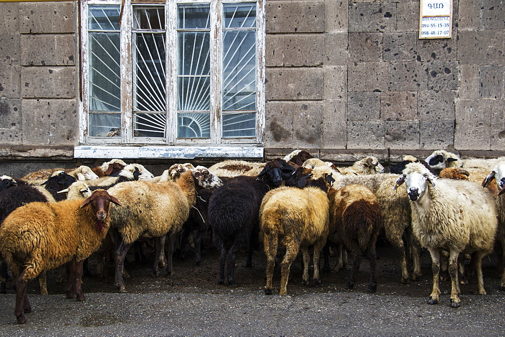 Flock Of Sheep (Ovis Aries) On A Street, Gyumri, Shirak Province, Armenia