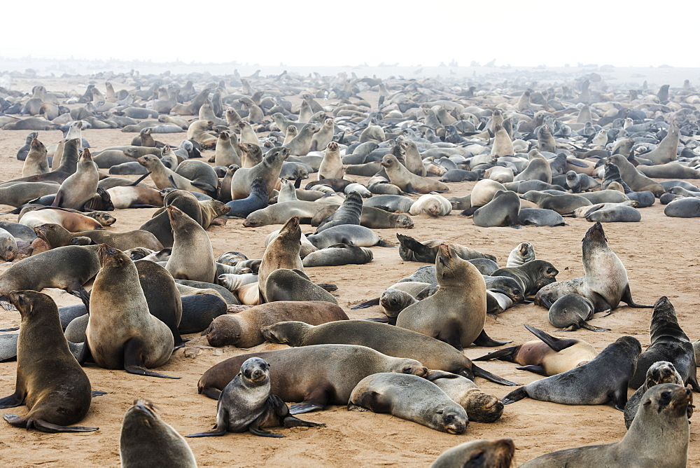 One Of The Largest Colonies Of Cape Fur Seals (Arctocephalus Pusillus) In The World At Cape Cross Seal Reserve, Skeleton Coast, Western Namibia, Namibia