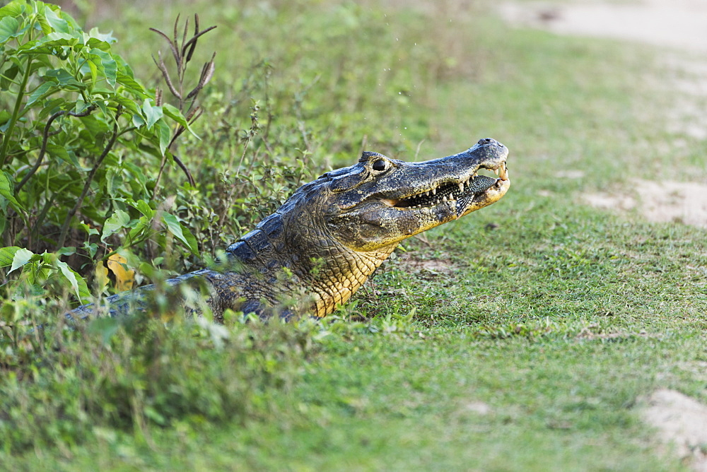 Close Up Of Yacare Caiman (Caiman Yacare) Eating Small Fish, Mato Grosso Do Sul, Brazil