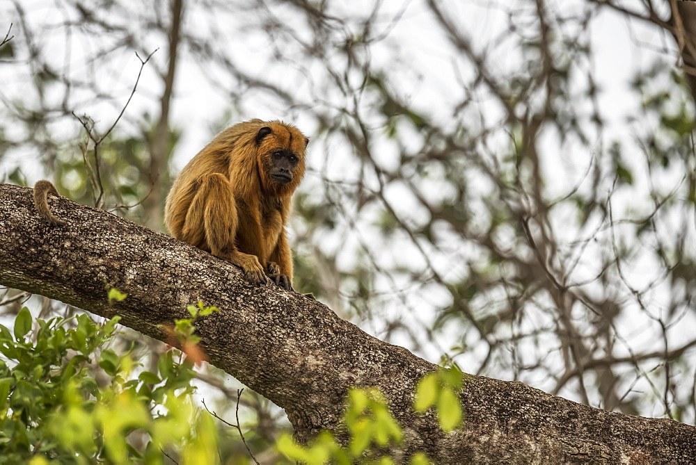 Black Howler Monkey (Alouatta Caraya) Looking Sad On Tree Branch, Mato Grosso Do Sul, Brazil