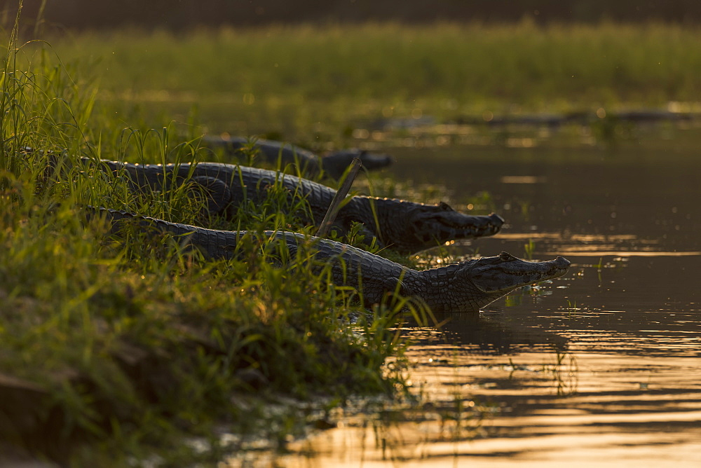 Three Yacare Caiman (Caiman Yacare) In Shallows At Sunset, Mato Grosso Do Sul, Brazil