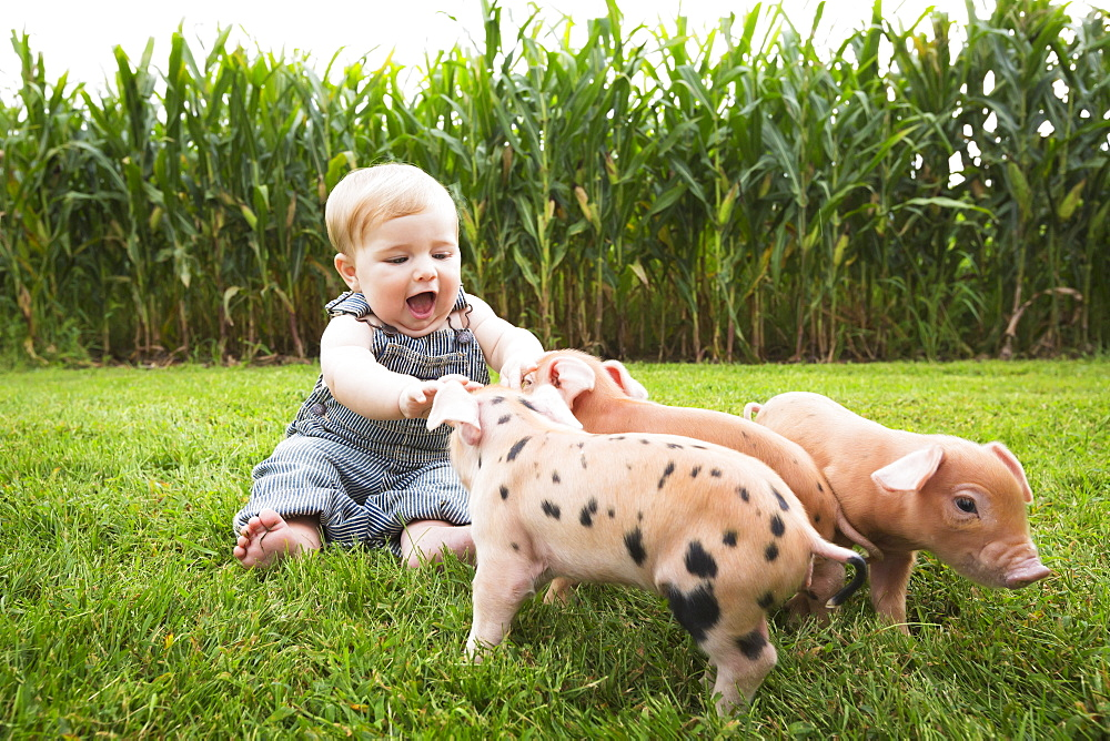 Infant Boy Playing With Young Pigs On A Farm In Northeast Iowa, Iowa, United States Of America
