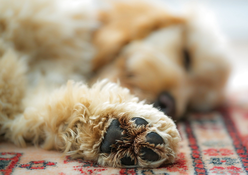 Close Up Of The Paw Of A Blond Cockapoo, South Shields, Tyne And Wear, England