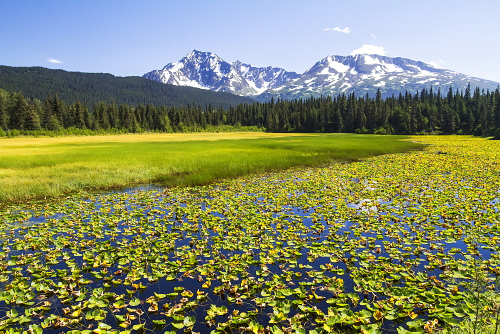 Colourful Lily Padded Marsh Along The Seward Highway, South-Central Alaska, Alaska, United States Of America