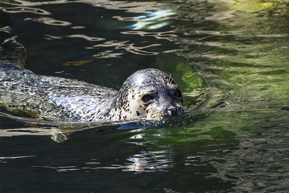 Harbor Seal (Phoca Vitulina) Swimming, Alaska, United States Of America