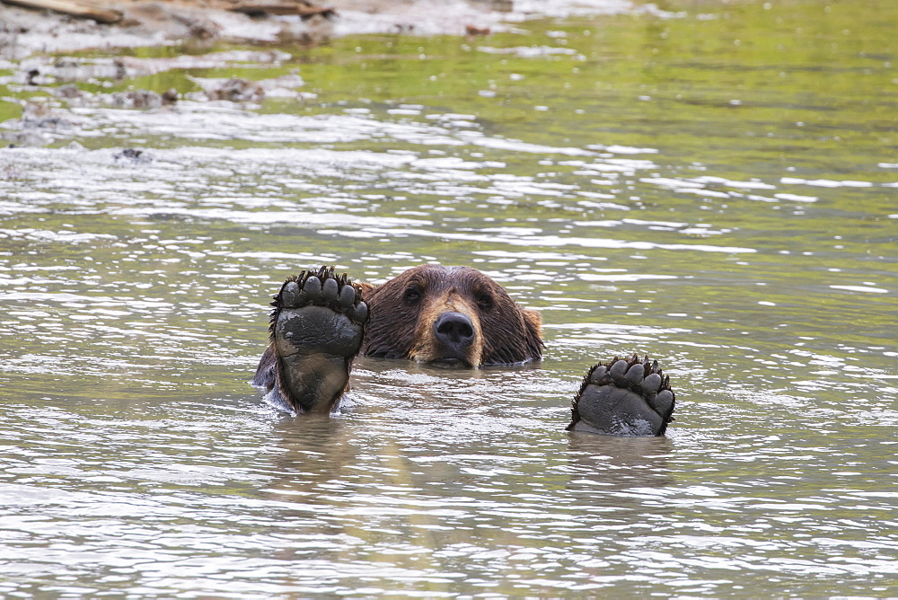 Brown Bear (Ursus Arctos) Plays In The Pond In The Alaska Wildlife Conservation Center, South-Central Alaska, Portage, Alaska, United States Of America