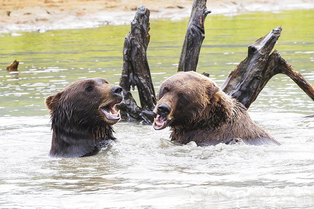 Brown Bears (Ursus Arctos) Play In The Pond In The Alaska Wildlife Conservation Center, South-Central Alaska, Portage, Alaska, United States Of America