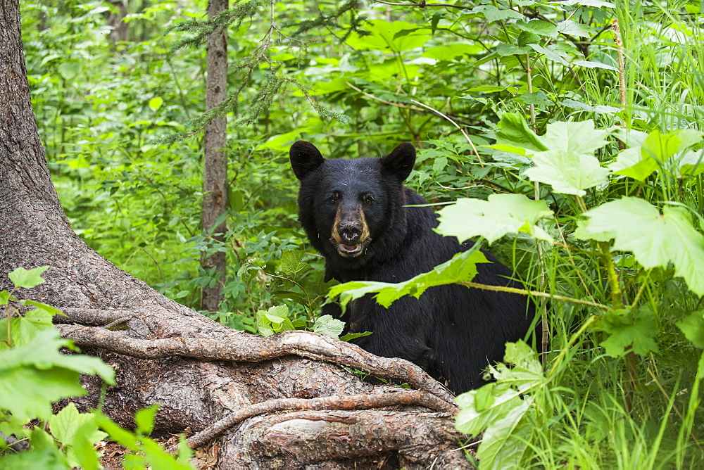 Black Bear Sitting Among The Forest Understory In Summer, Southcentral Alaska, USA
