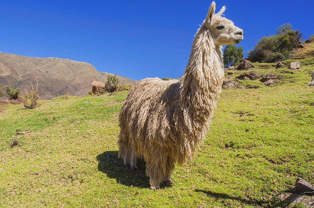 An Alpaca (Vicugna Pacos) On A Hillside In The Foothills Of The Andes Mountains Near Cusco, Peru