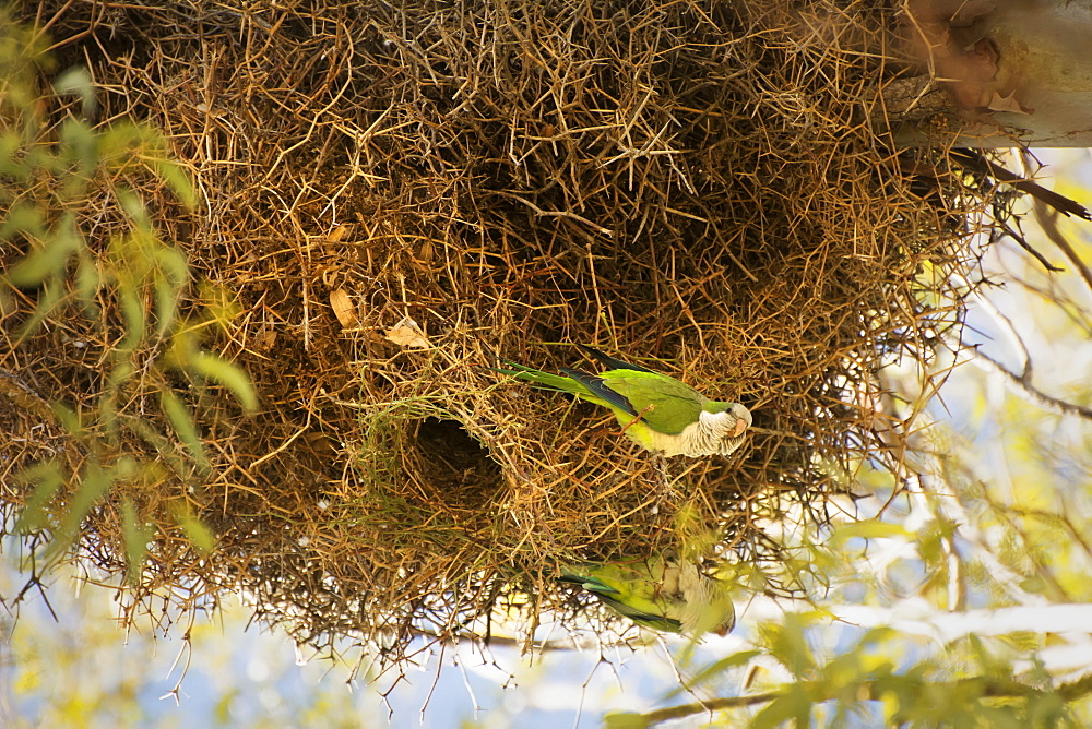 Two Exotic Birds, Mountain Parakeets (Psilopsiagon Aurifrons), At The Entrance Of Their Nest, Mendoza, Argentina