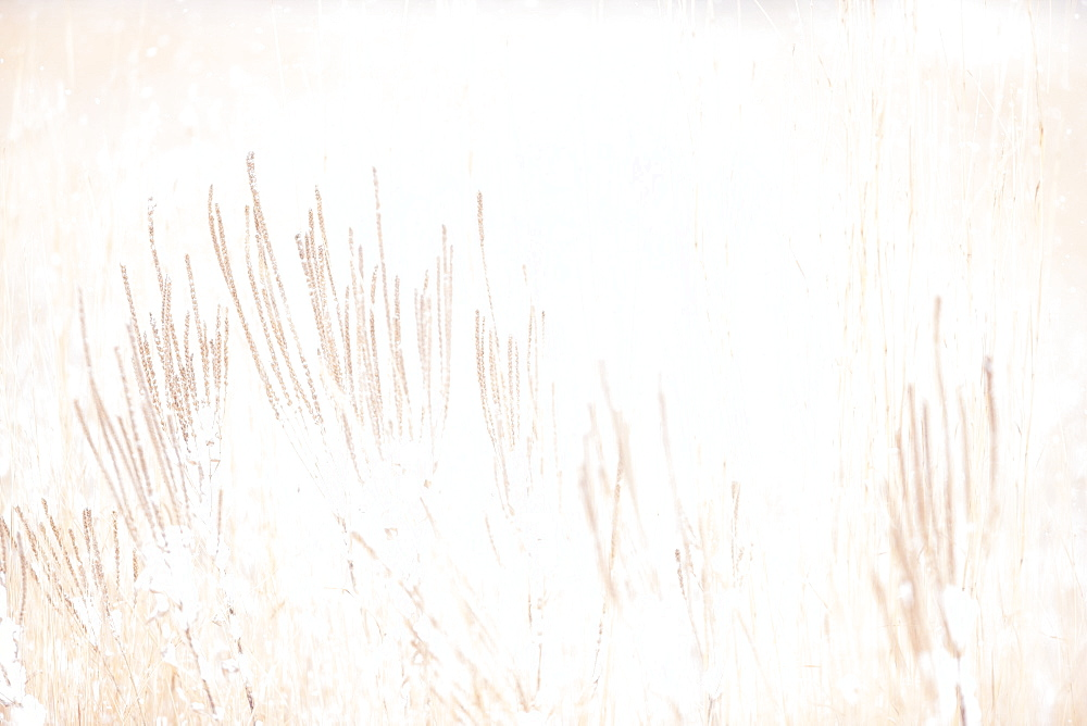 Vervain And Prairie Grasses In Smith Prairie In A Snowstorm, Hubbard County, Minnesota, United States Of America