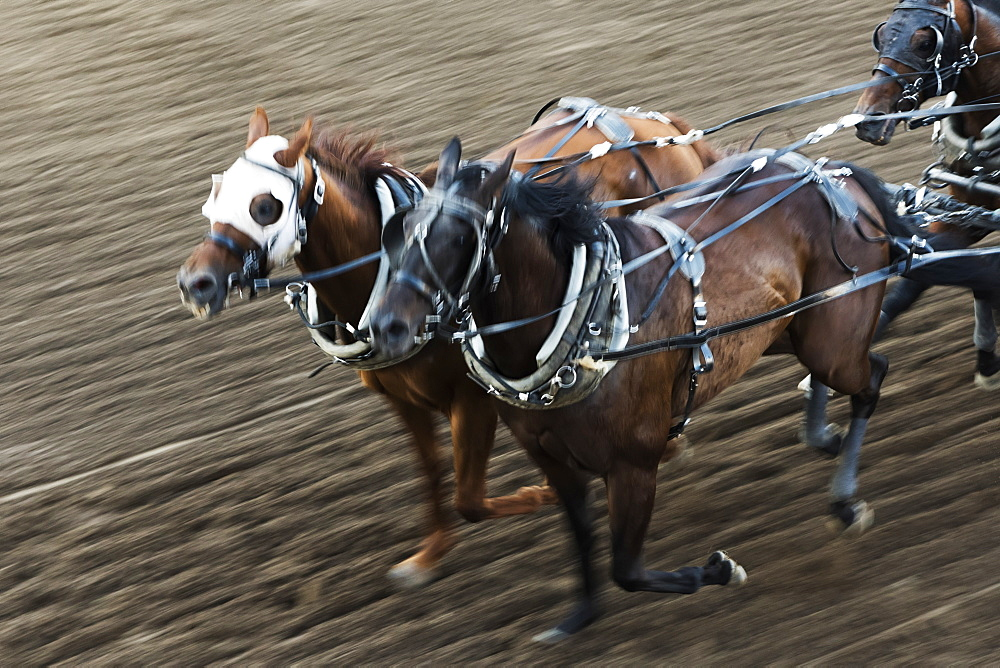 Horses In A Chuckwagon Race, Lakeview Calgary Stampede Event, Calgary, Alberta, Canada