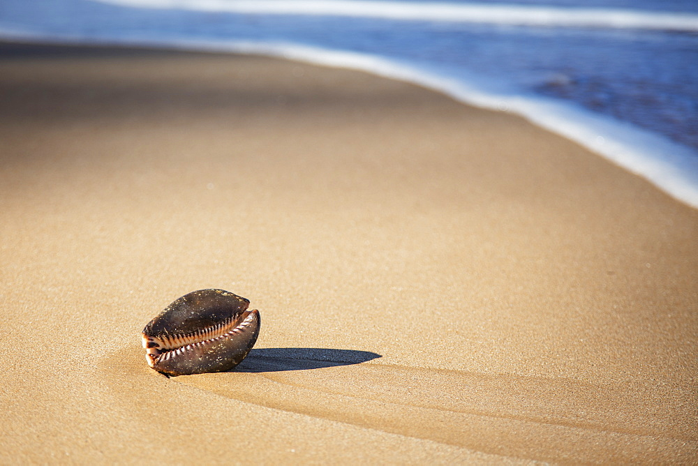 Large Cowry Shell On Beach, Maui, Hawaii, United States Of America