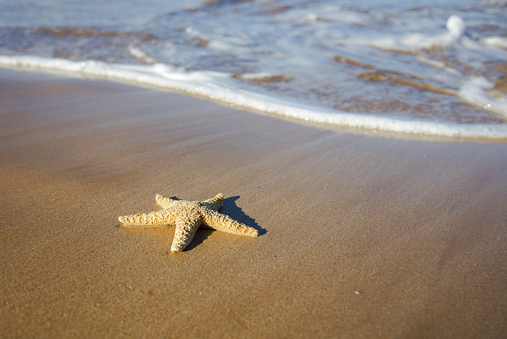 Sea Star Washes Ashore On A Beach, Maui, Hawaii, United States Of America