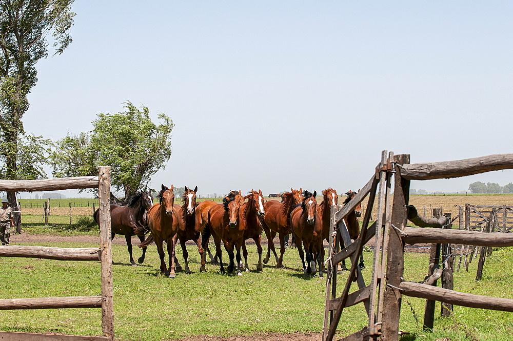 Horses Running In A Corral On A Horse Ranch, Argentina