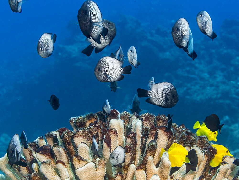 A School Of Hawaiian Dascyllus (Dascyllus Albisella), A Hawaiian Endemic Fish, Over A Bleached Antler Coral (Pocillopora Eydouxi) Off The Kona Coast, Kona, Island Of Hawaii, Hawaii, United States Of America