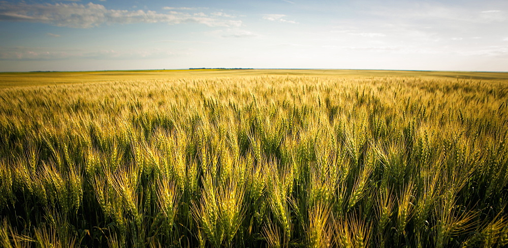 View Over A Green And Golden Wheat Field, Saskatchewan, Canada