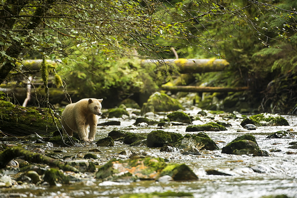 Spirit Bear (Ursus Americanus Kermodei) Fishing In The River, Great Bear Rain Forest, British Columbia, Canada
