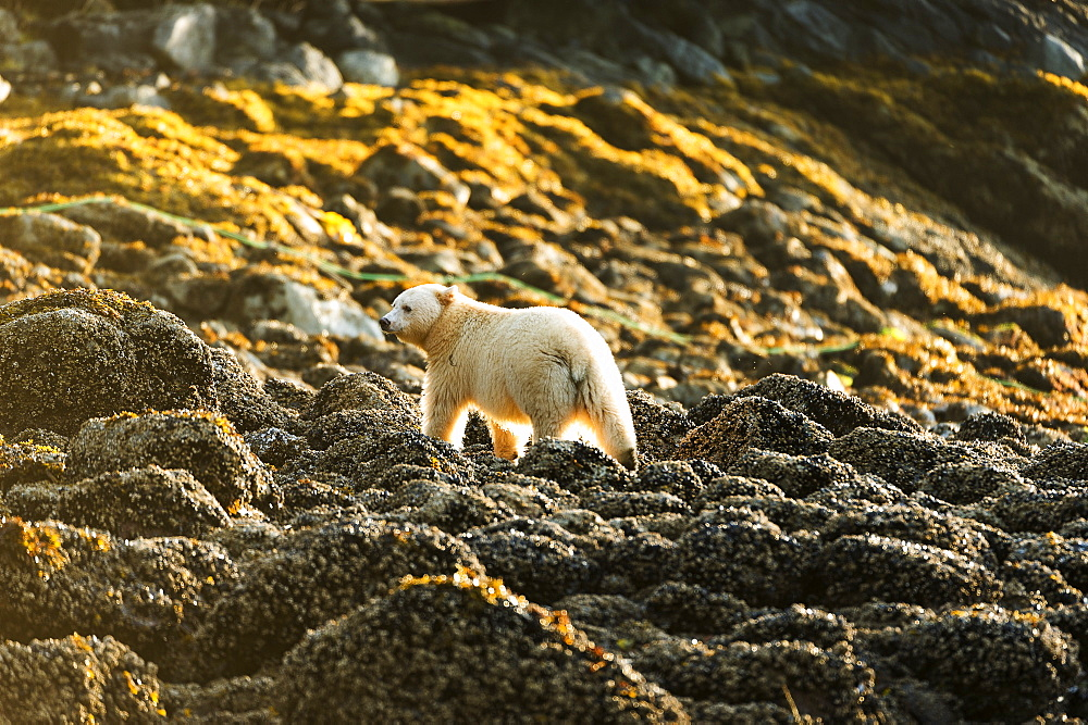 Spirit Bear (Ursus Americanus Kermodei) On The Beach, Great Bear Rain Forest, Gribbell Island, British Columbia, Canada