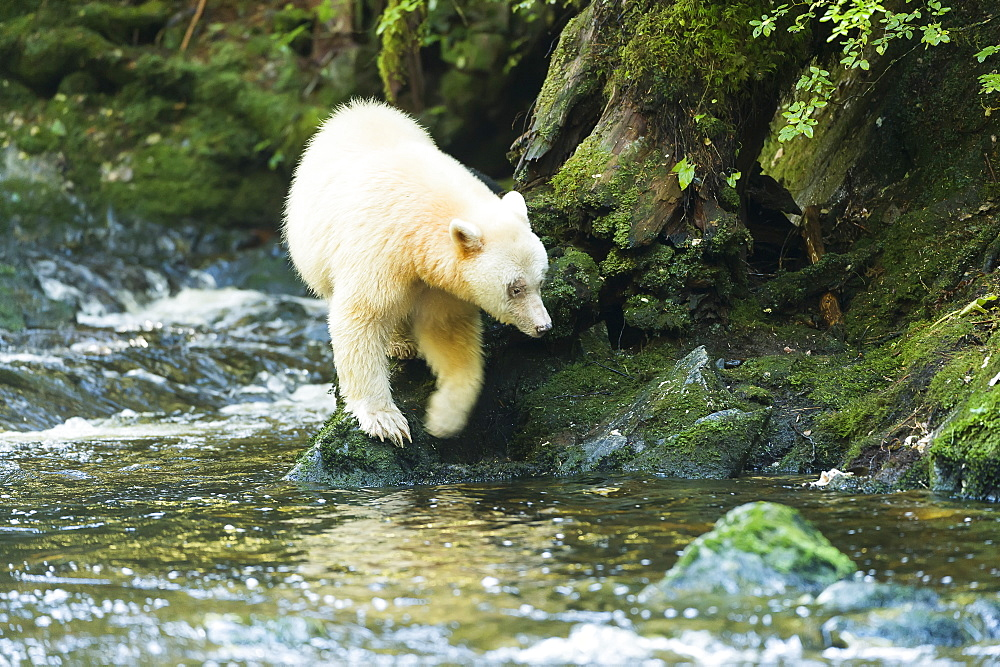Spirit Bear (Ursus Americanus Kermodei) Walking Along The River's Edge With Reflection In The Water, Great Bear Rain Forest, Gribbell Island, British Columbia, Canada