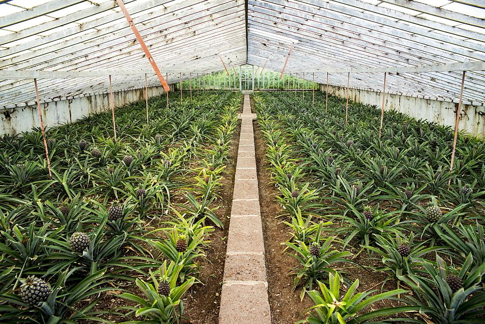 Ananas Plantation, Faja De Baixo, Sao Miguel, Azores