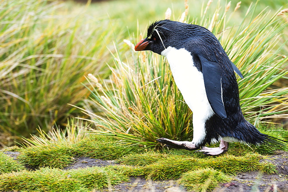 Rockhopper Penguin Walking In The Tall Grass