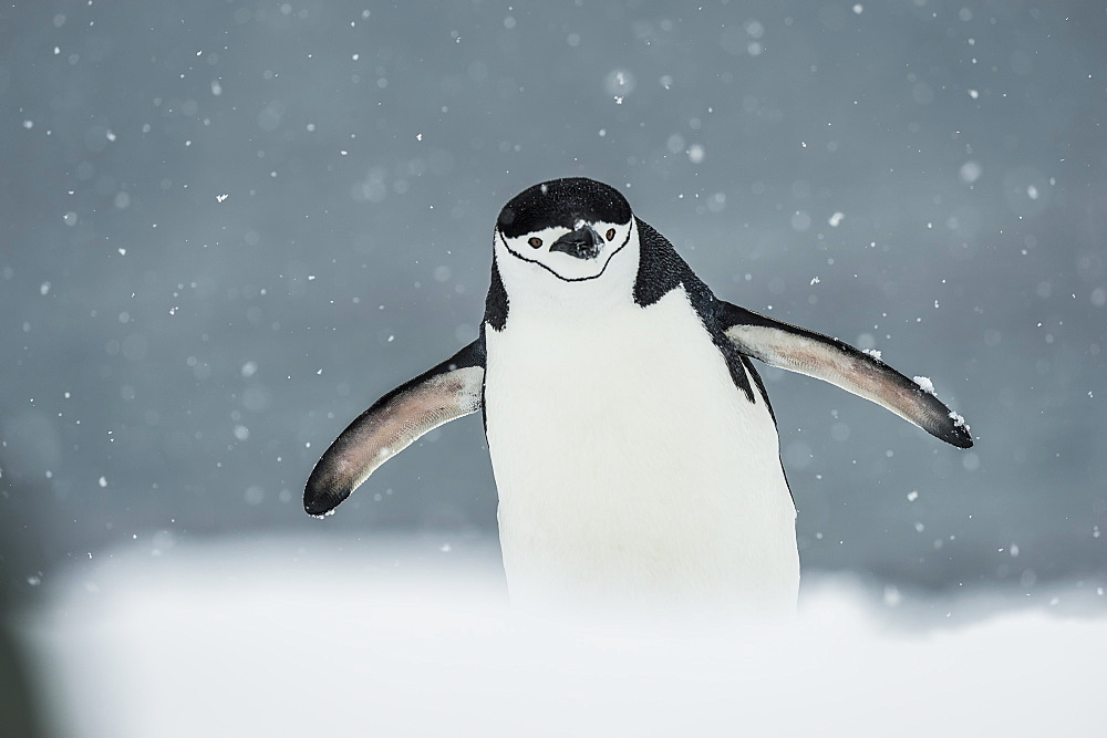 Chinstrap Penguin (Pygoscelis Antarctica) In A Snowfall, Half Moon Island, South Shetland Islands, Antarctica